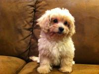 Just two left. One female and one male. Toy poodle and