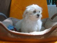 Pek-a.poo (Pekingese/Poodle) Family raised in our home.