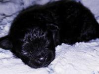 Meet our little black male peekapoo Olivier (his