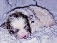 Meet our little blue merle male peekapoo River (his