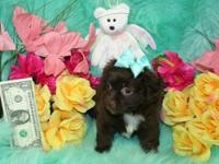 Adorable PekaPoo Puppies, CKC Registered, We have 2