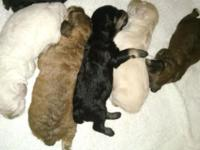 i have a beautiful litter of puppies,5 females and 2