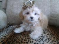 Peekapoo male puppies gorgeous sweet playful will come