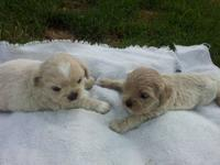 I HAVE 1 MALE CREAM PEEKAPOO FOR 650.00 WHO WILL BE