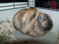 Peep is a beautiful brindle brown lop bunny with
