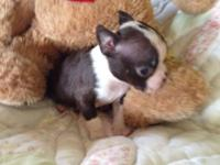 AKC male Boston Terrier. PeeWee is red,