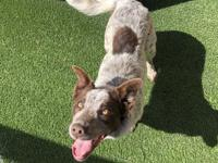 My name is Peggy and I am an 8-month-old female Heeler