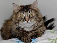Peggy's story Peggy is a brown tabby domestic long hair