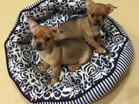 Sweet, little, Pek-a-Chih (Pekingese / Chihuahua)