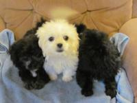Beautiful PEK-A-POO (Pekingese X Poodle) puppies.Dad is