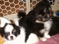 Adorable Pekachi (Pekingese/Chihuahua) pups ready for