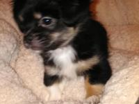 Pekachi pups (Pekingese/Chihuahua) available now 2males