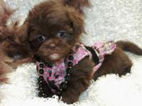 I have a litter of pekapoo puppies, 1 chocolate female