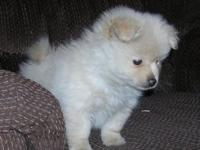 I have one 8 week old male Puppy that is 87% Pomeranian