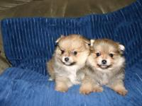 Adorable Pomeranian Pekingese puppies. I have x2 sable