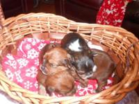 We have 3 Peke a poo/Chihuahua mix puppies Ready to go