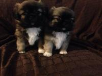pure Pekinese puppies, 2males and 2 females. The