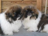 we have 2 lovely AKC Pekingese males available. Parti