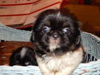 I have a litter of 5 Pekingese puppies. They were born