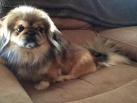 2 years of age full blood male Pekingese. He's potty