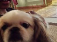 Pekingese puppy chestnut and white, neutered, chipped,