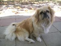 Female Pekingese. Party colored, 5 years old. Planning