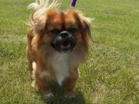 Pekingese - Bono - Small - Adult - Male - Dog Click
