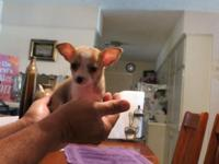 Have a litter of Registered Cheeks Puppies 3 males and