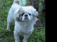 Pekingese - Clifford - Small - Adult - Male - Dog