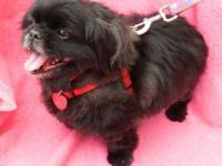 Pekingese - Coal - Small - Senior - Male - Dog Coal is