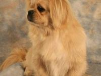 Pekingese - Deja Vu - Small - Adult - Female - Dog I?ll