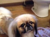 Lovely complete blooded female Pekingese! She is 3 yrs