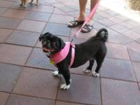 Pekingese - Flower - Small - Adult - Female - Dog
