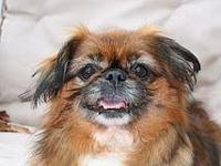 Pekingese - Homer - Small - Adult - Male - Dog Homer is