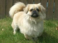 Pekingese - Jack - Medium - Young - Male - Dog Jack is