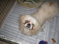 Pekingese - Jimmy - Small - Adult - Male - Dog Jimmy is