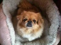 Pekingese - Little Wiggle - Adoption Pending - Small -