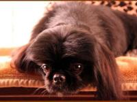 Pekingese - Madix - Small - Young - Male - Dog ADOPTION