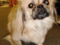 Pekingese - Maggie - Small - Adult - Female - Dog Visit