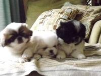 Adorable baby Pekingese puppies. Both parents live with