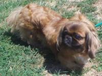 Pekingese - Pekingese Female **courtesy** - Small -