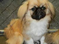 Pekingese - Pekingese Pups (male) Courtesy - Small -