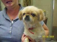 Pekingese - Pixie - Small - Adult - Female - Dog