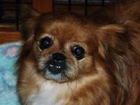 Pekingese - Pookie - Small - Adult - Female - Dog