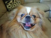 I have a beautiful pekingese male great for studding if