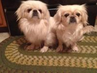 Women pekingese young puppies readily available to