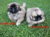 I have two gorgeous Pekingese puppies, Champion sired,