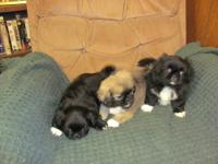 We have some beautiful and sweet Pekingese puppies.