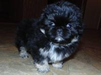 I have purebred registered pekingese puppies for