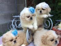 pekingese pups beautiful and playful 2 months and a